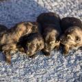 Les femelles grises argentées charbonnées
