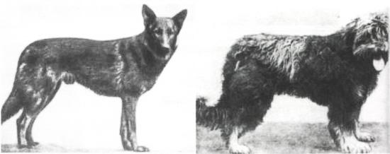 Le chien de Thüringe (à gauche) et le chien de Würtemberg (à droite)