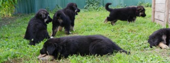 chiots altdeutscher schaferhund