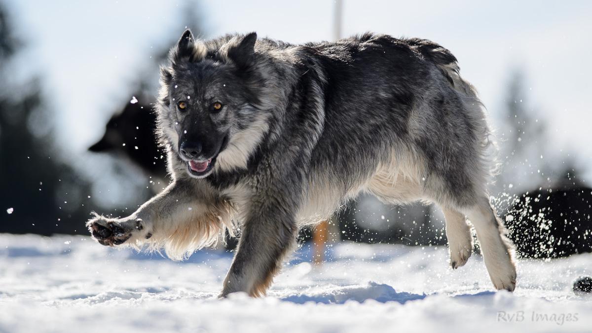 Audacieux Nouvelles photos des chiens de l'élevage | Altdeutsche WA-83